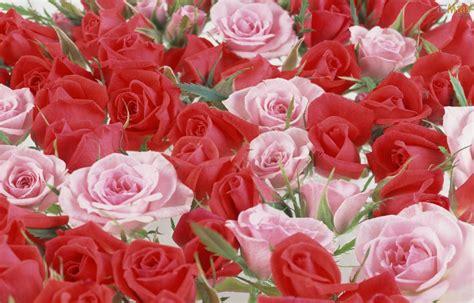 imagenes de lindas rosas lindas imagenes de rosas imagui