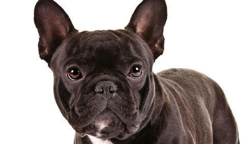 most popular breeds 2017 most popular breeds of 2017