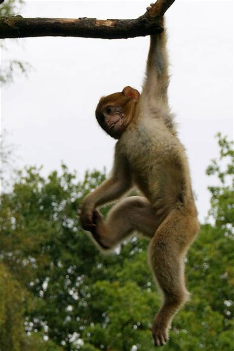 Kancing Kayu Monkey Bu 07 monkey hanging from tree search reference images trees search and monkey