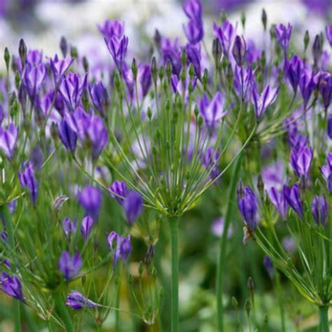 triteleia brodiaea queen fabiola flower bulbs x 100 internet gardener