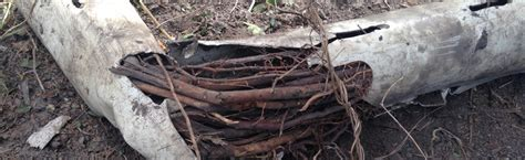 Roots Plumbing by Are Tree Roots Ruining Your Drains Plumbing And