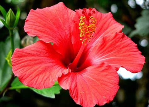 ibisco fiori ibisco il fiore della bellezza piante da giardino