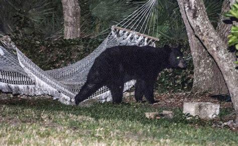 amaca repubblica florida c 232 un orso sull amaca in giardino repubblica it