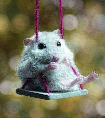 hamster swing baby dwarf hamster on a swing aww