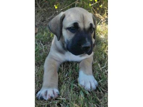 purebred dogs for sale beautiful purebred boerboel puppies for sale port elizabeth ad land south africa