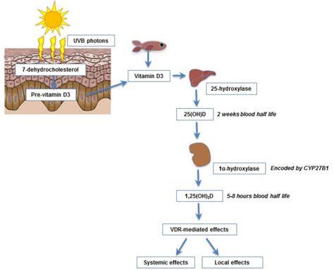 vitamin d immunity and microbiome dec 2014 vitamin d wiki