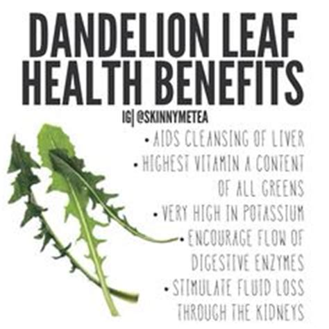 Dandelion Root Or Leaf For Detox by 1000 Ideas About Dandelion Leaves On