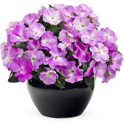 lavender new year infinity lavender new guinea impatiens i need to find