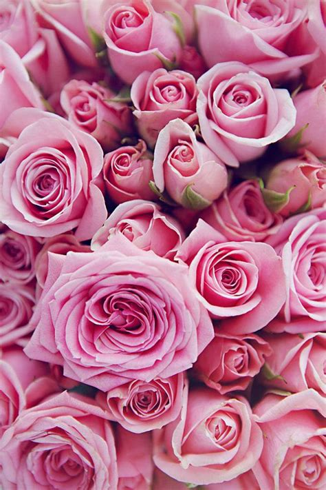 pink roses 25 best ideas about pink roses on beautiful flowers fresh flowers and roses