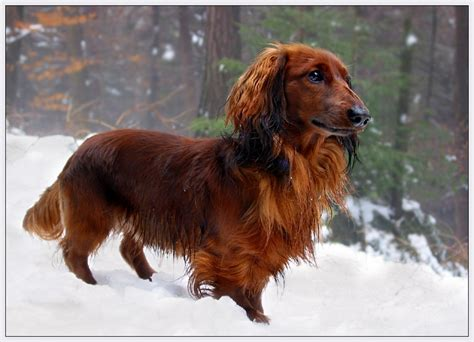 Haired Dachshund Shedding by 17 Best Images About Of Daschunds