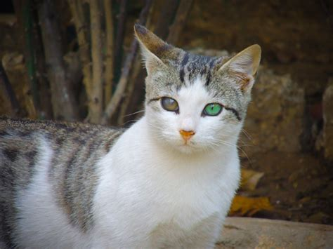 cats with different colored 187 heterochromia iridum two different colored 21 photos