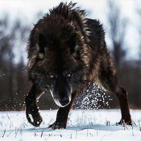 Lop Noir loup noir wolves