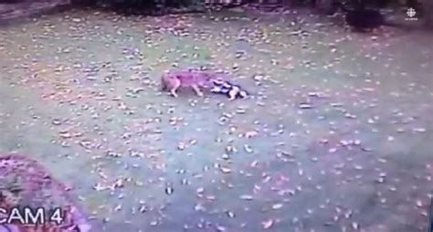 will a coyote attack a prepare to get chills as this coyote attacks a