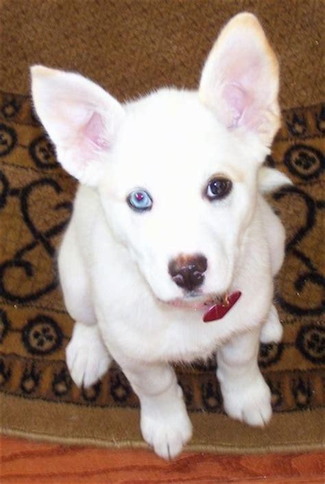 pitsky puppies 7 facts about pitbull husky mix a k a pitsky animalso