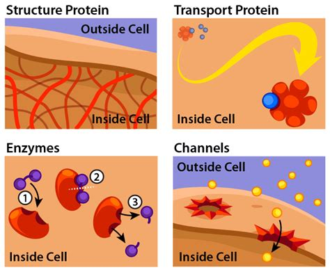 protein types what are proteins ask a biologist