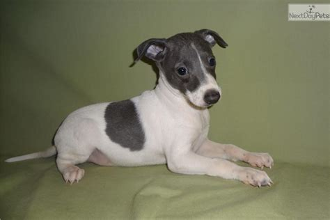 greyhound puppy price italian greyhound puppy for sale near springfield missouri 31acf41c 7851