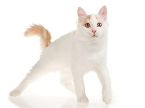Turkish Van   Cats   Breed Information   Omlet