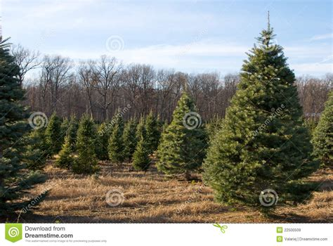 christmas tree farm stock image image of wood trees
