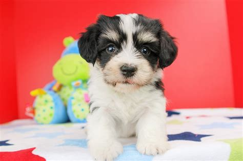 havanese breeders in south florida havanese puppies for sale florida breeds picture