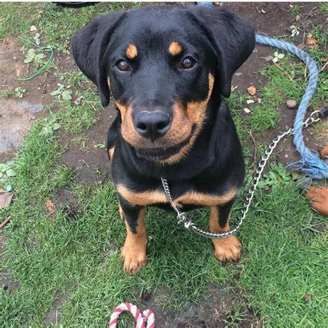 6 month rottweiler for sale lovely 6 month rottweiler for sale leicester leicestershire pets4homes