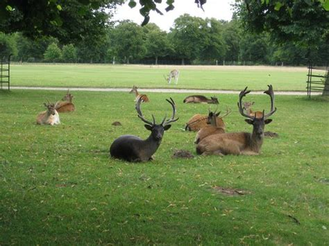 deer in house deer park belton picture of belton house grantham