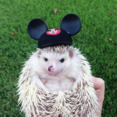 www cute 20 of the cutest hedgehog pictures you ll see on hedgehog day