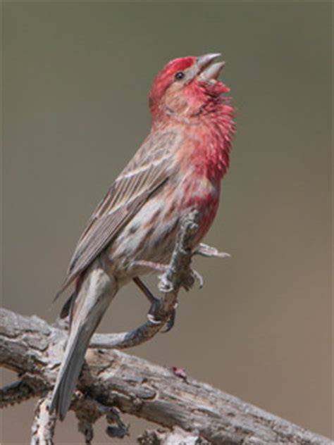 mexican house finch carpodacus mexicanus house finch discover life