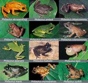 dozen frog species discovered in india s western ghats