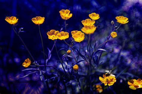 wallpaper daffodils yellow  flowers