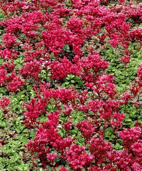 stonecrop red creeping sedum red flower 3 plants free