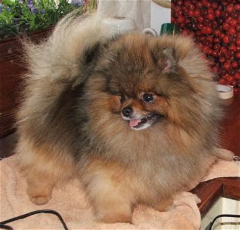 pomeranian puppies for sale in orange county orange pomeranians pictures models picture