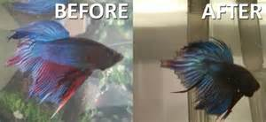 Common Diseases of Betta Fishes and the Treatments