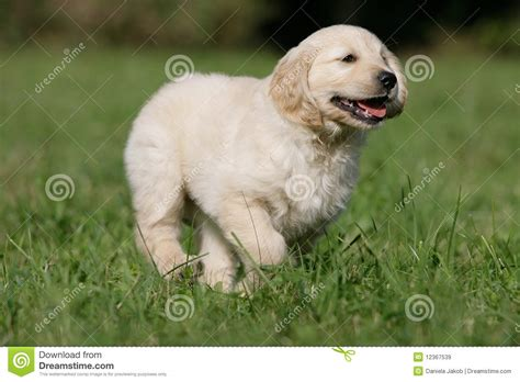 running golden retriever running golden retriever puppy royalty free stock images image 12367539