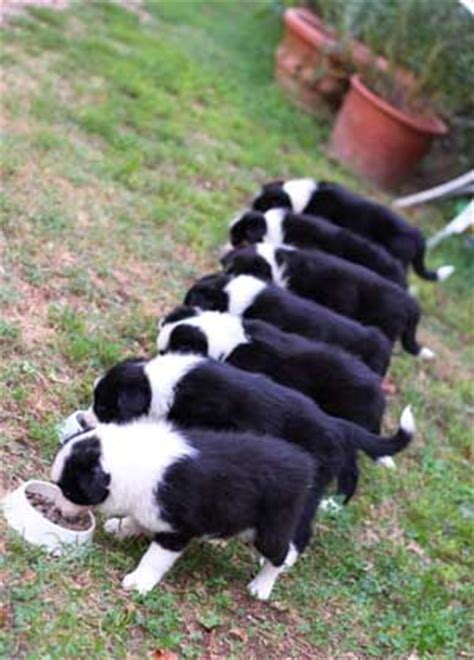 best food for border collie puppy border collie feeding amount guidelines how much to feed