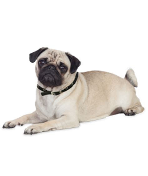 pug png pug puppies dogs for adoption