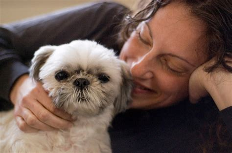 shih tzu language 3 great ways to strengthen your bond with your shih tzu iheartdogs