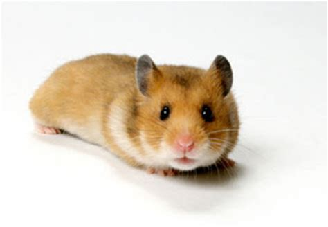 Makanan Hamster Golden Hamster hamster e donos hamsters juntos