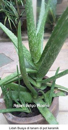 Herbavera Aloevera Jelly Jus Lidah Buaya jus lidah buaya dan kolang kaling hilangkan nyeri