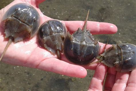 house shoe crab baymen oppose horseshoe crab restrictions in brookhaven tbr news media