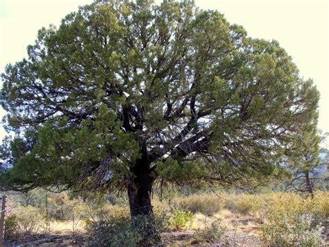 book journeys alligator juniper trees