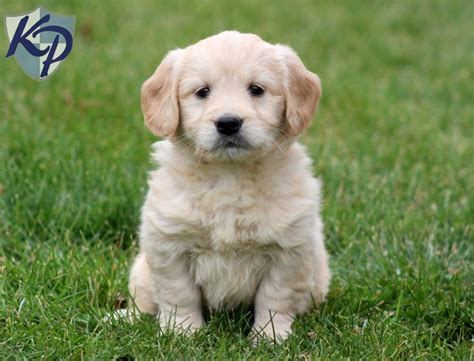mini goldendoodle breeders pin miniature goldendoodle puppies for sale on