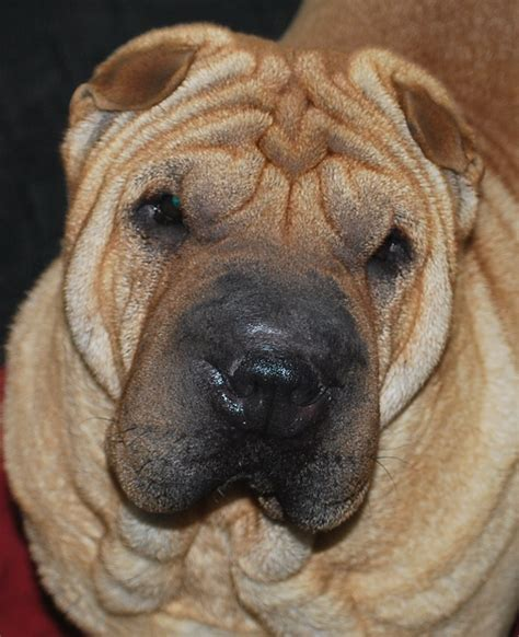 entropion in pugs siosalach shar pei and pugs shar pei and pug puppies