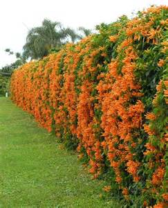 Fast Climbing Evergreen Plants - 25 best ideas about natural privacy fences on pinterest privacy landscaping privacy trees