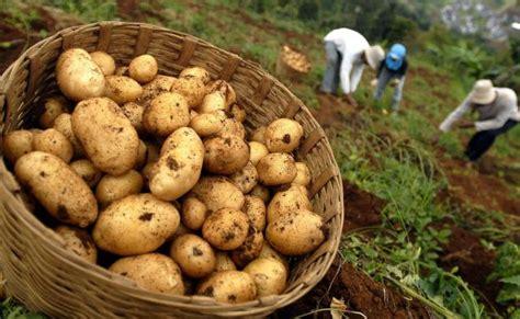 Bibit Kentang kabupaten bandung didorong jadi sentra bibit kentang bandung