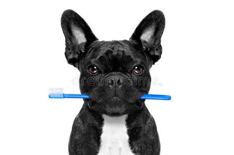 dental toothbrush dog stock photo image