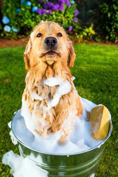 golden retriever puppy bath time golden retriever unhappy with his bath royalty free stock photos image 26336888