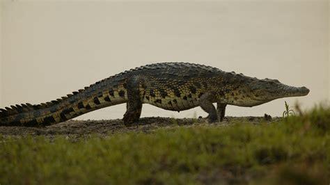 krokodil images nile crocodile
