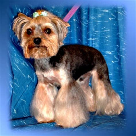 how often do you groom a yorkie groomers bbs owner wants bell bottoms