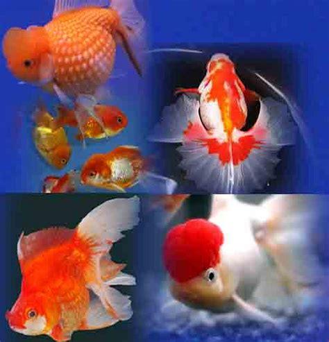 akuarium ikan mas koki design jenis jenis ikan mas koki