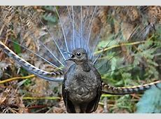 Winter call of the lyrebirds › Nature Features (ABC Science) Lyrebird Song
